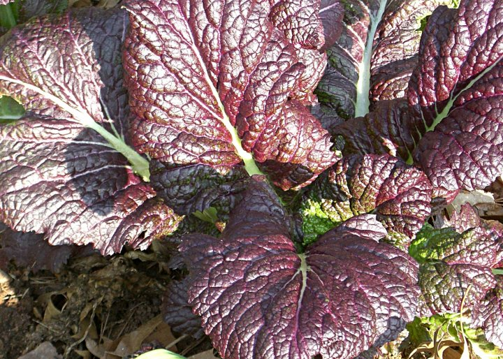 giant red mustard, photo by Linda Cook